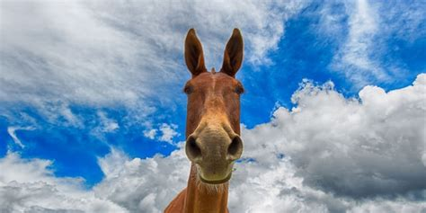 What is a Mule?